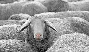 Sheep - wool post