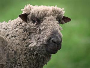 WP Ready sheep